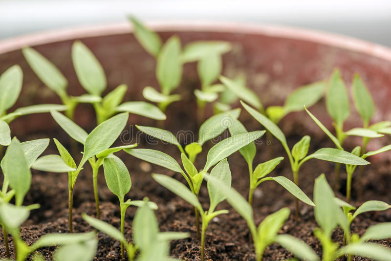 Саженцы перца растя в баки стоковое фото rf