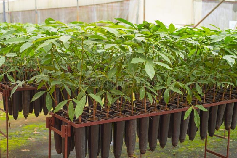 Саженцы резиновых деревьев на плантации в Wayanad, Керале стоковое фото