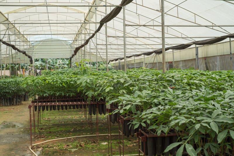 Саженцы резиновых деревьев на плантации в Wayanad, Керале стоковое изображение