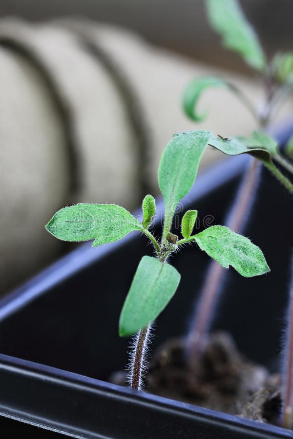 Саженцы томата в подносе стоковая фотография rf