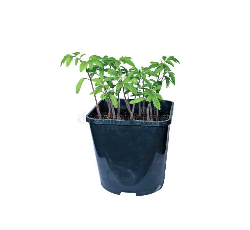Саженцы томата молодого завода в изолированном цветочном горшке стоковые изображения