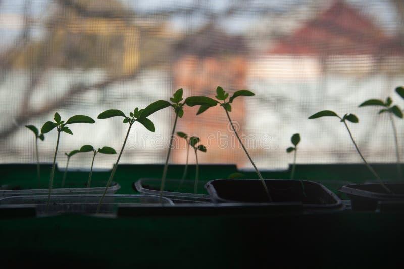 Саженцы томата на windowsill Силуэт небольших ростков стоковое фото