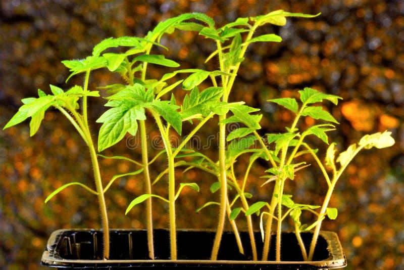 Саженцы томата, популярный аграрный завод, который выросли садовники Саженцы - молодые заводы, который выросли в защищенной почве стоковые фото