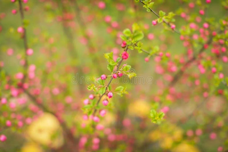 Сакура, красивые бутоны вишневого цвета в весеннем времени Близкая поднимающая вверх предпосылка бутонов цветков вишни пинка весн стоковая фотография
