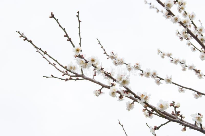 Сакура, цветок вишневого цвета с белой предпосылкой в Токио, Японией стоковые фото