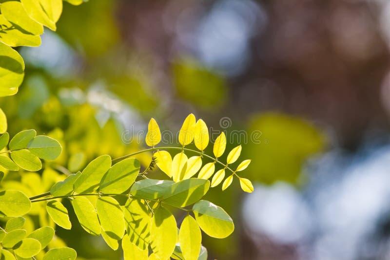 Салатовые молодые и свежие листья акации, pseudoacacia Robinia, на красочном естественном лесе запачкали предпосылку bokeh стоковое фото rf