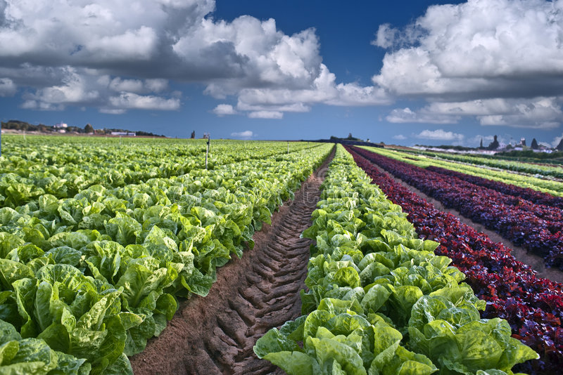 салат поля стоковое фото rf