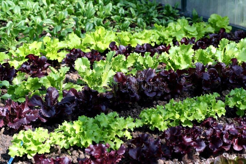 салат сада кровати стоковые изображения rf