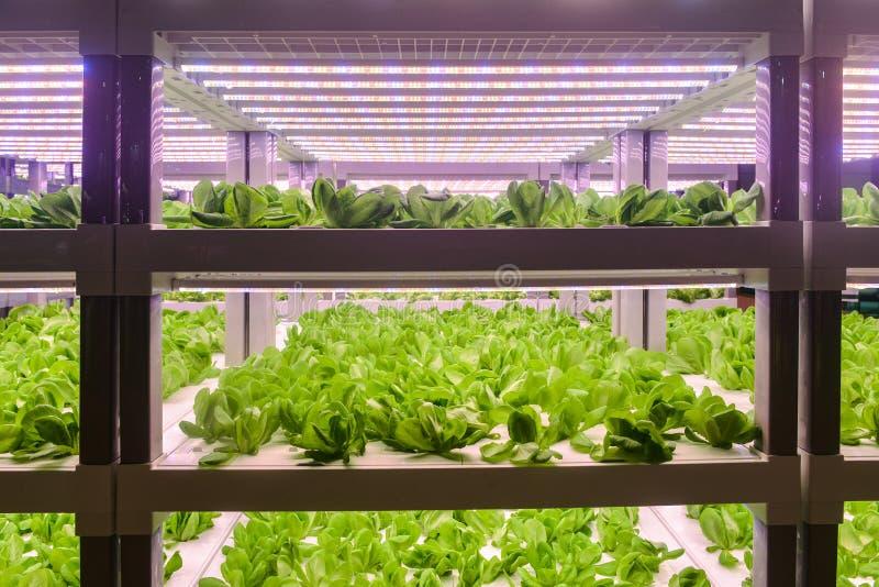 Салат Romaine растет с светлым крытым земледелием приведенным фермы стоковые фотографии rf