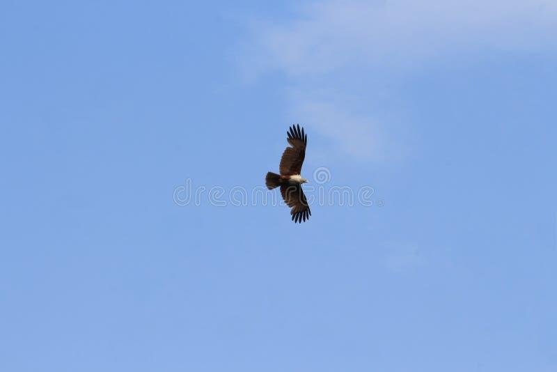 Самая лучшая предпосылка для орла который летает с it& x27; крылья s широко открытые стоковые фотографии rf