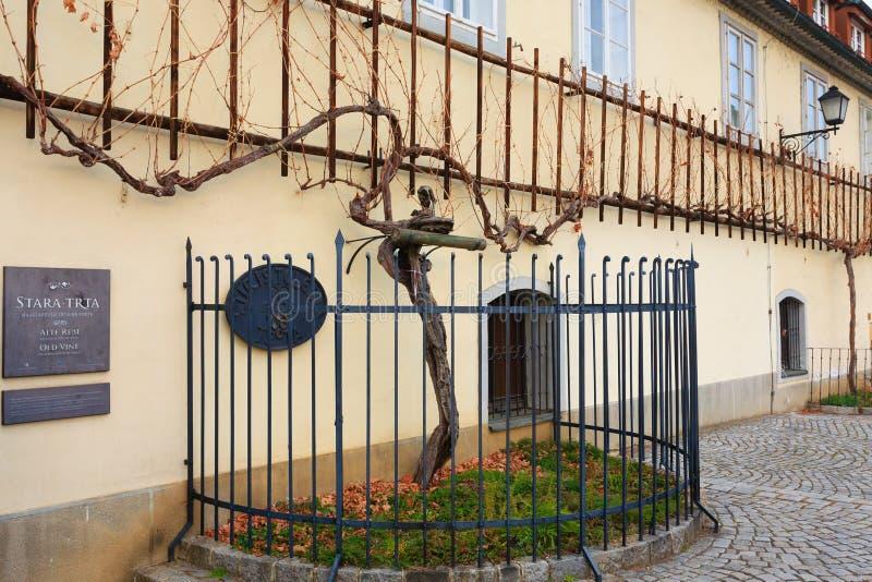 Самая старая лоза в мире в Мариборе, Словении стоковое фото rf