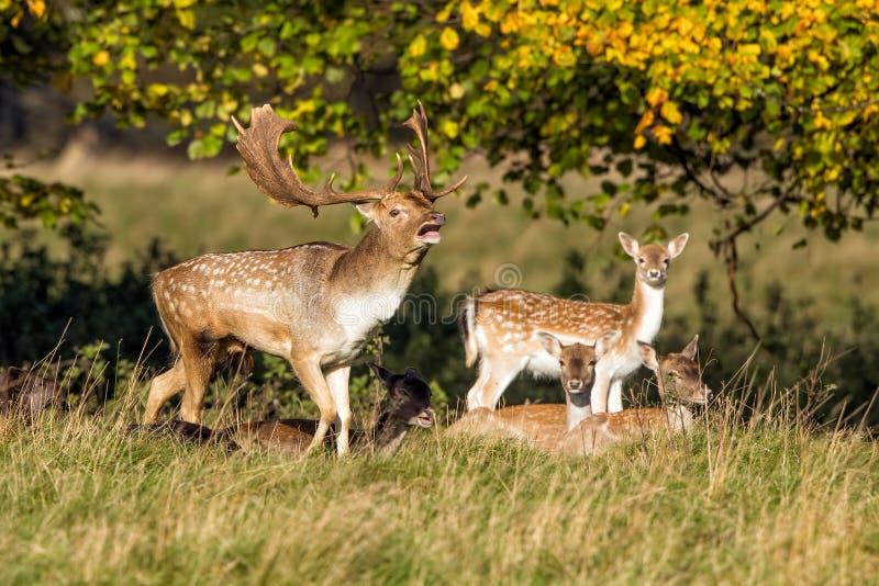 Самец оленя ланей с делает - dama Dama, Уорикшир, Англия стоковые изображения rf