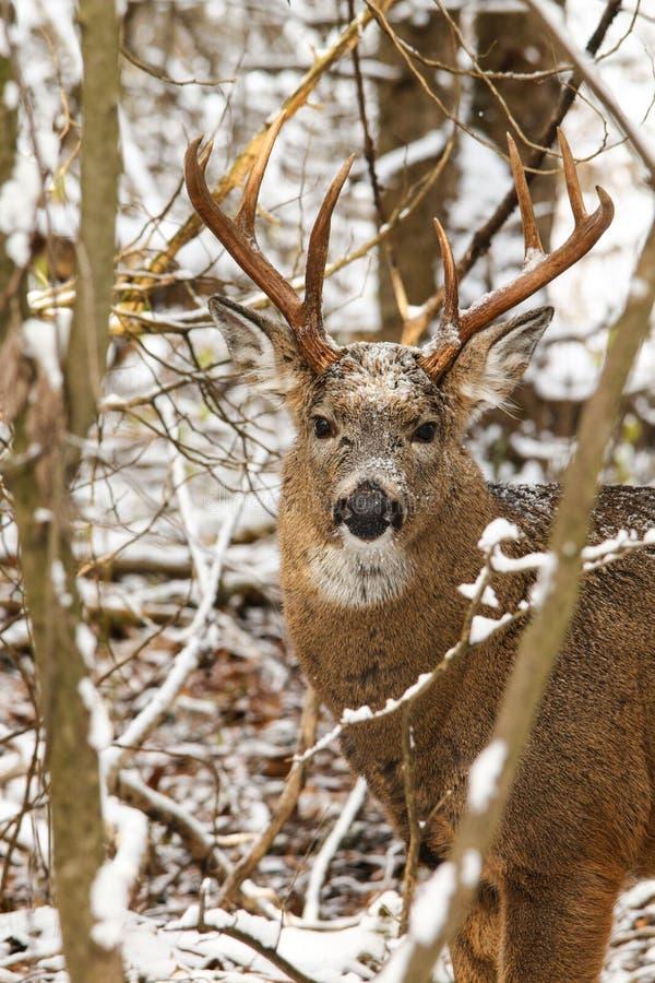Самец оленя оленей Whitetail с впечатляющими Antlers представляет в снеге зимы стоковые изображения