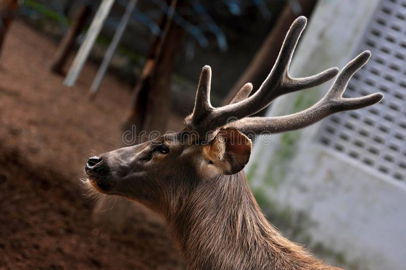 Самец оленя оленей Whitetail стоковые фото