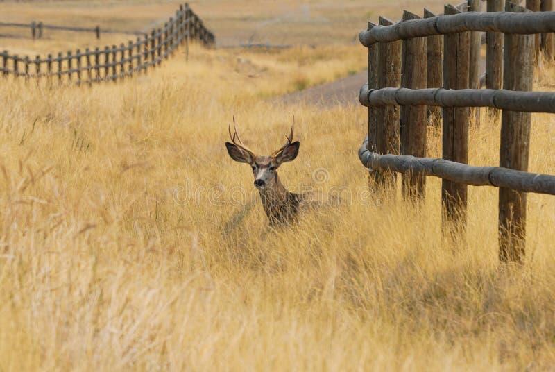 Самец оленя отдыхая в траве осени стоковое изображение
