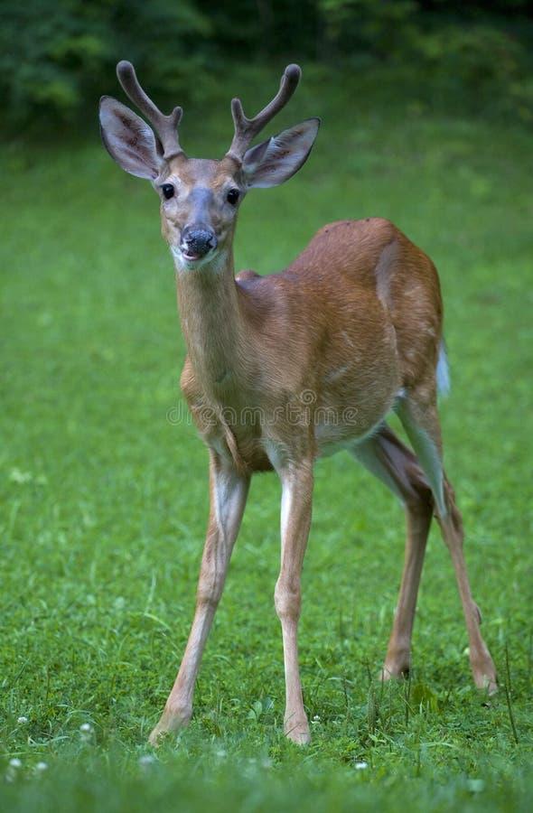 самец оленя сиротливый стоковые изображения rf