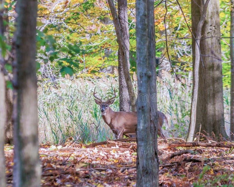 Самец оленя оленей Whitetail стоковая фотография rf