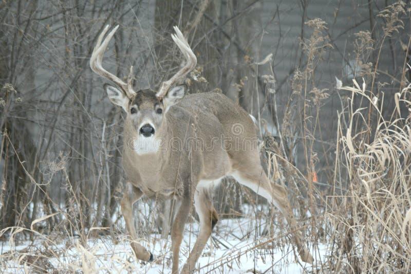 Самец оленя Whitetail - конфронтация зимы стоковое изображение