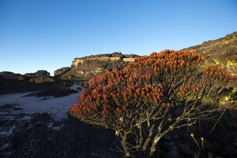Саммит держателя Roraima, вулканических камней и красных эндемичных заводов стоковые фотографии rf