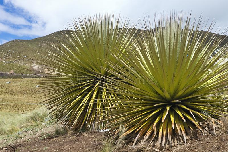 Самое большое bromelie, raimondii Puya, Huascaran, Перу стоковая фотография rf