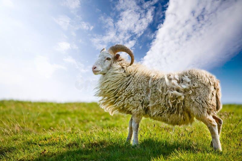 самолюбивые овцы стоковые фотографии rf