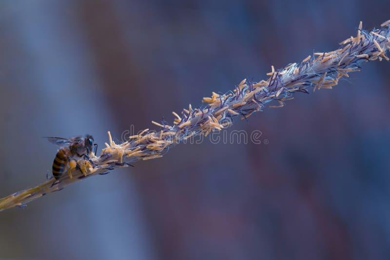 Самостоятельно в пчеле меда безмолвия стоковые фотографии rf
