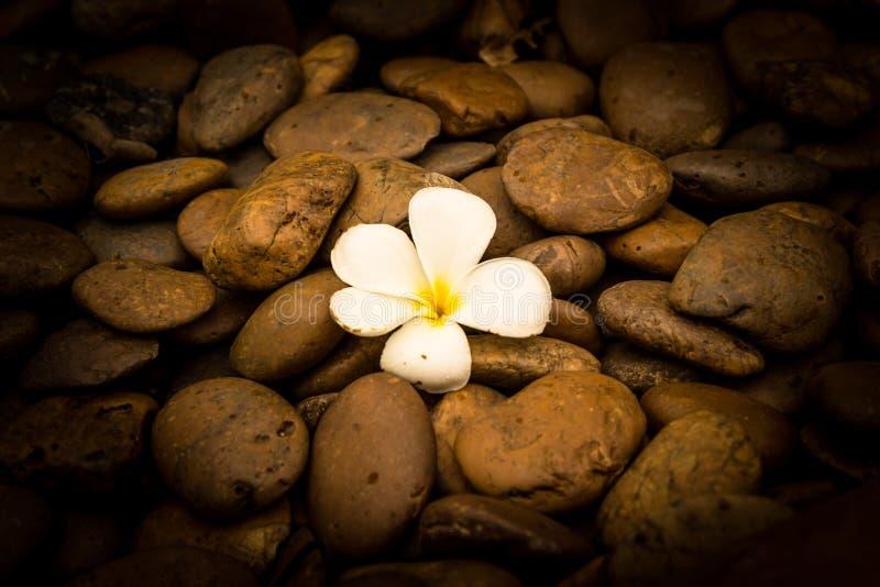 Самостоятельно цветок Frangipani (plumeria) на предпосылке камня реки стоковое изображение rf