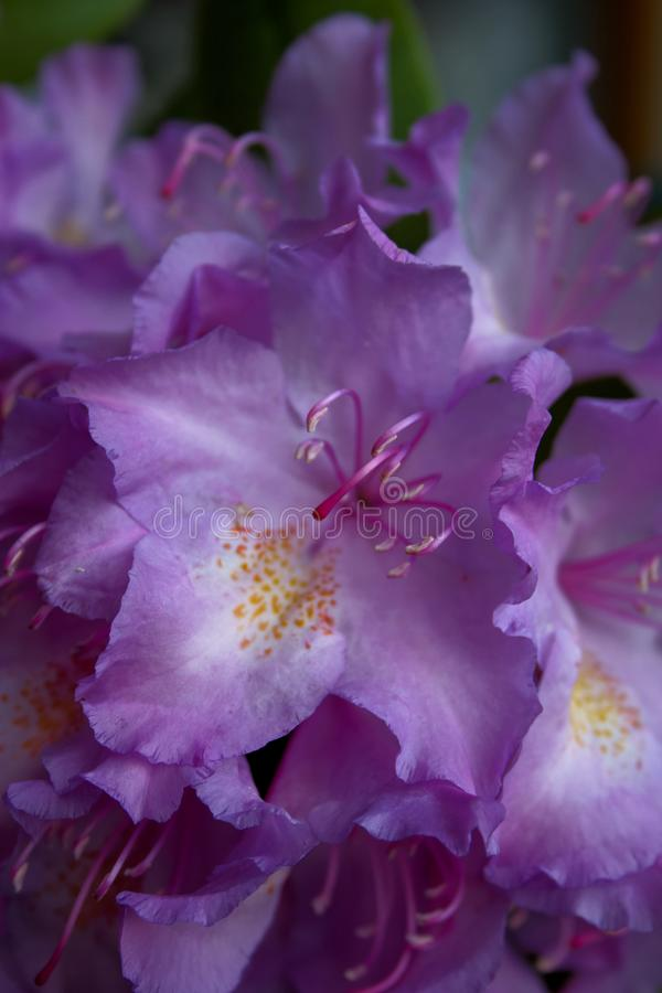 Самоцвет dauricum рододендрона пурпурный в цветени стоковое фото rf