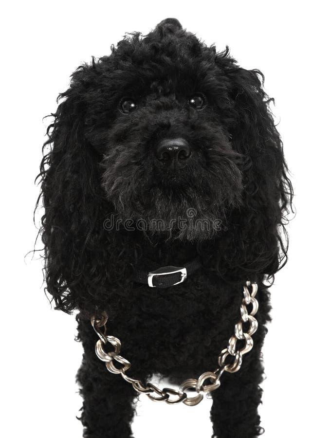 Черная собака пуделя стоковое фото rf