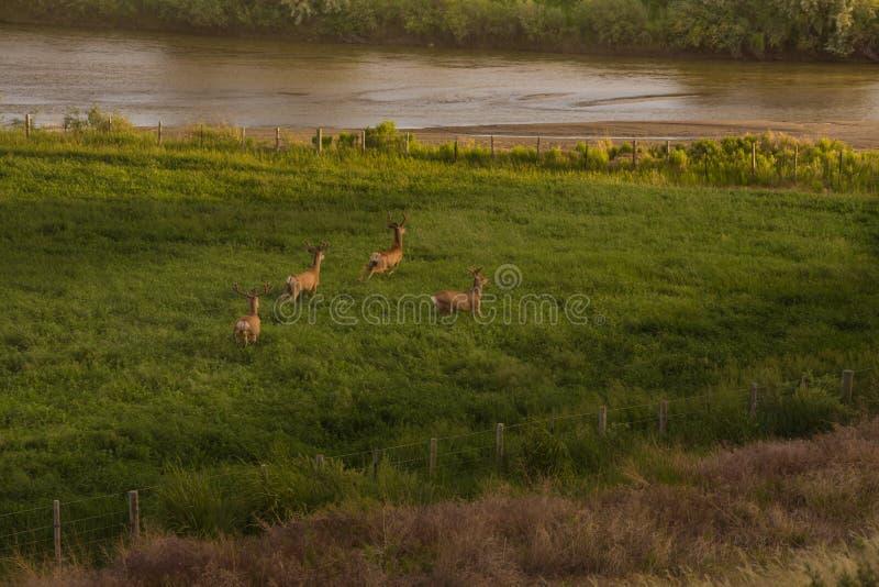 4 самца оленя оленей осла в бархате бежать в зеленом поле стоковая фотография rf