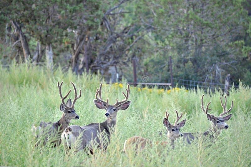 4 самца оленя оленей осла стоя бдительный в поле засорителей стоковые изображения