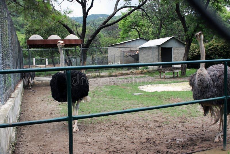 Самые красивые страусы живой природы фотографируют стоковое изображение rf