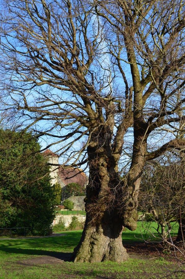 Самый старый английский вяз в Европе стоковое фото rf