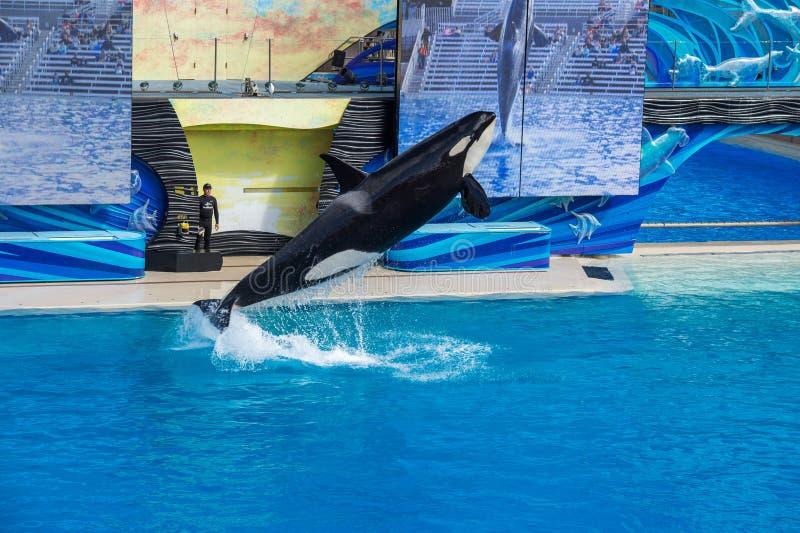 САН-ДИЕГО, США - 15-ое ноября 2015 - мир выставки дельфин-касатки на море стоковое фото rf
