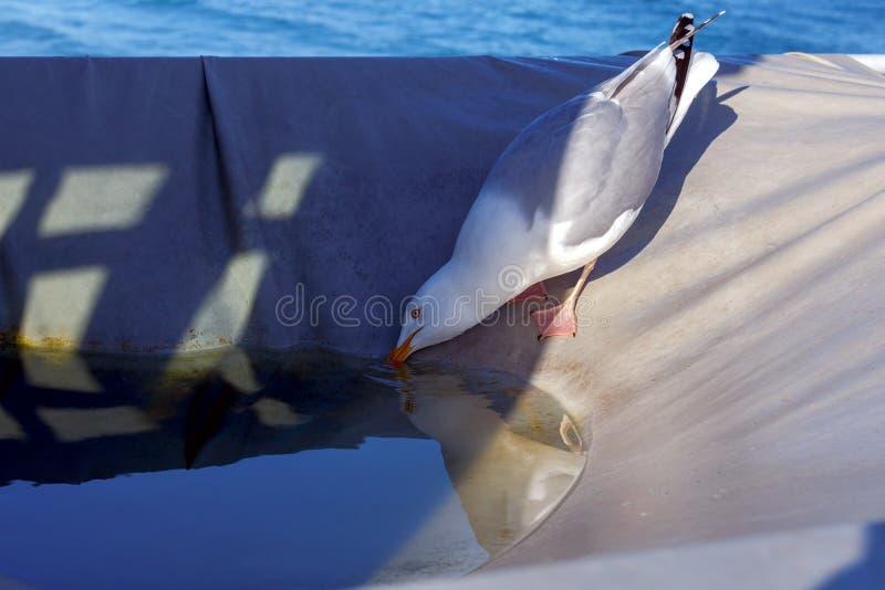 Сан Malo Большая чайка моря стоковые изображения