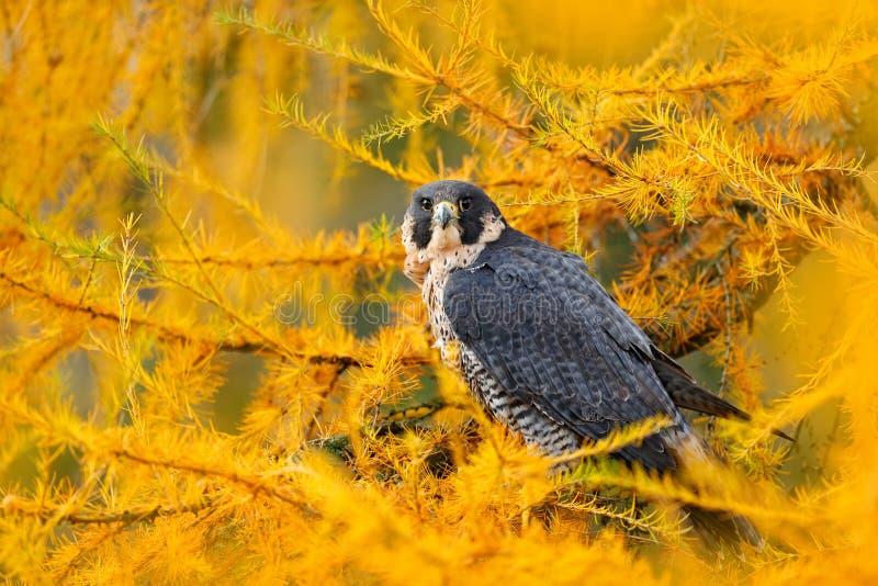 Сапсан в желтом дереве лиственницы осени Сапсан хищной птицы сидя в птице оранжевого леса осени милой в падении wo стоковые изображения rf