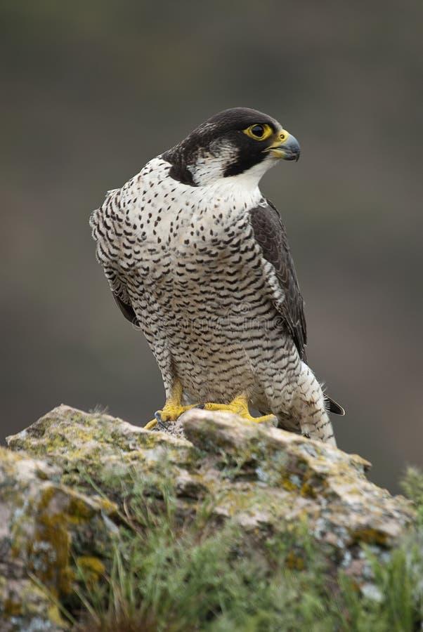 Сапсан на утесе Хищная птица, peregrinus Falco стоковая фотография