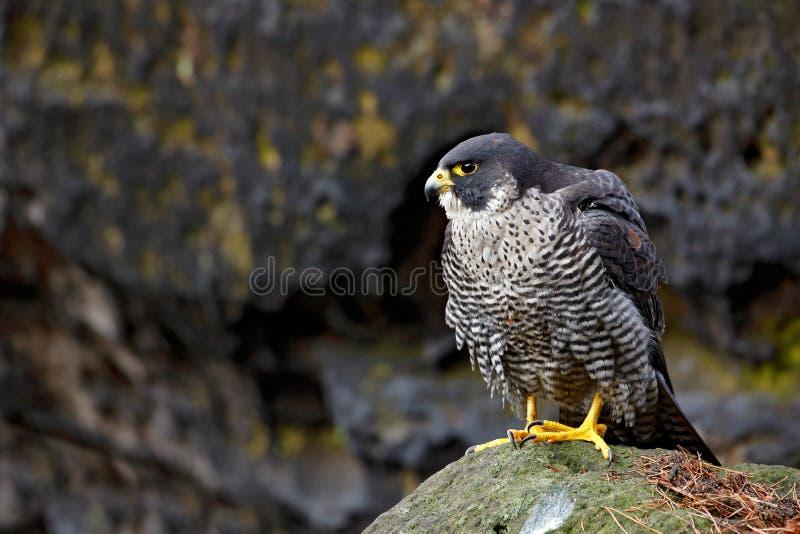 Сапсан сидя в утесе с, редкая птица в среду обитания природы Сокол в чехословакском соотечественнике Ceske Svycarsko горы стоковое изображение rf