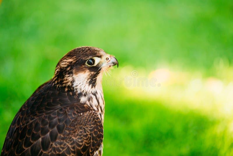 Сапсан - Falco Peregrinus, также известное как чужеземец стоковые изображения