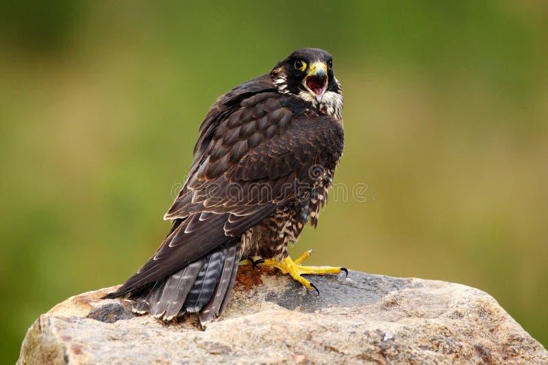 Сапсан, peregrinus Falco, хищная птица сидя на камне с зеленой предпосылкой леса, средой обитания природы, Францией стоковое изображение rf