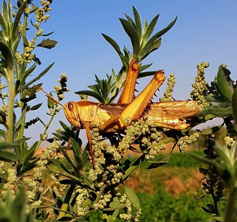 Саранчи в вечнозелёном растении стоковое фото