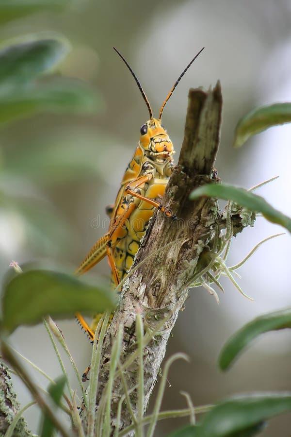 саранчук larry стоковые изображения