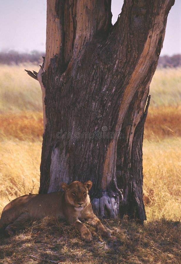 Сари львицы в Ботсване стоковое изображение rf