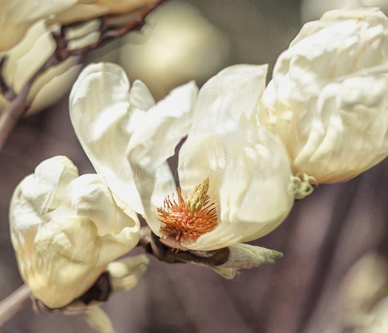 Сатинировк-желтые магнолии стоковое фото rf