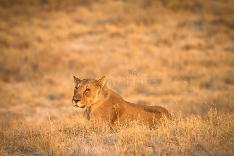 Download сафари Кении стоковое изображение. изображение насчитывающей львев - 18387683