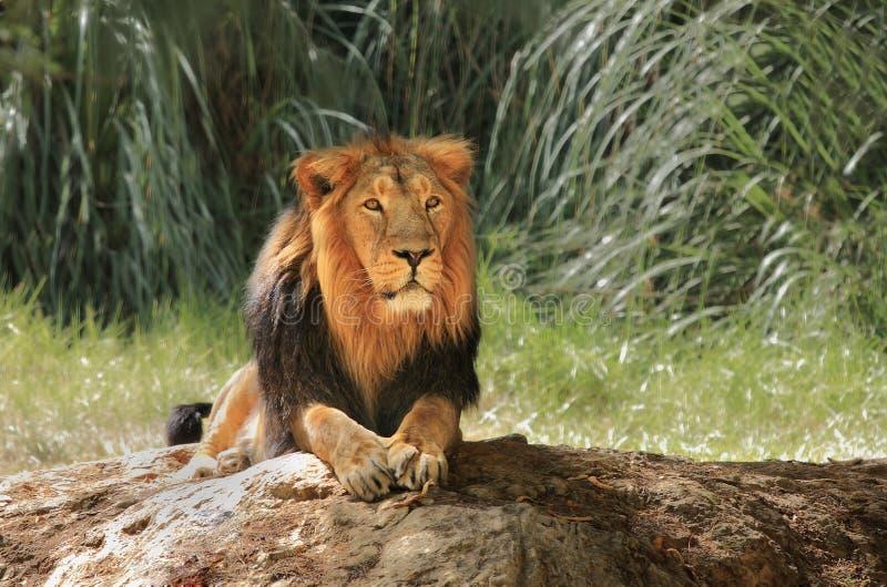 сафари льва стоковое фото rf