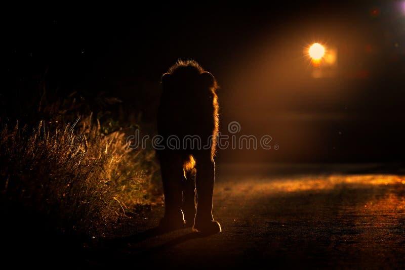 Сафари ночи с светом Лев идя на дорогу с автомобилем в национальном парке Kruger, Африке Животное поведение в среду обитания прир стоковые изображения