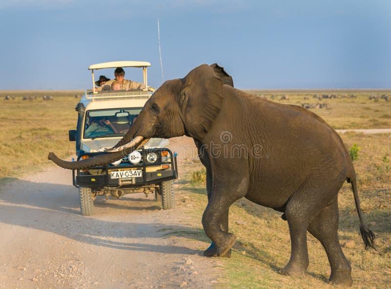 Сафари слона в национальном парке Amboseli, Кении стоковые фото