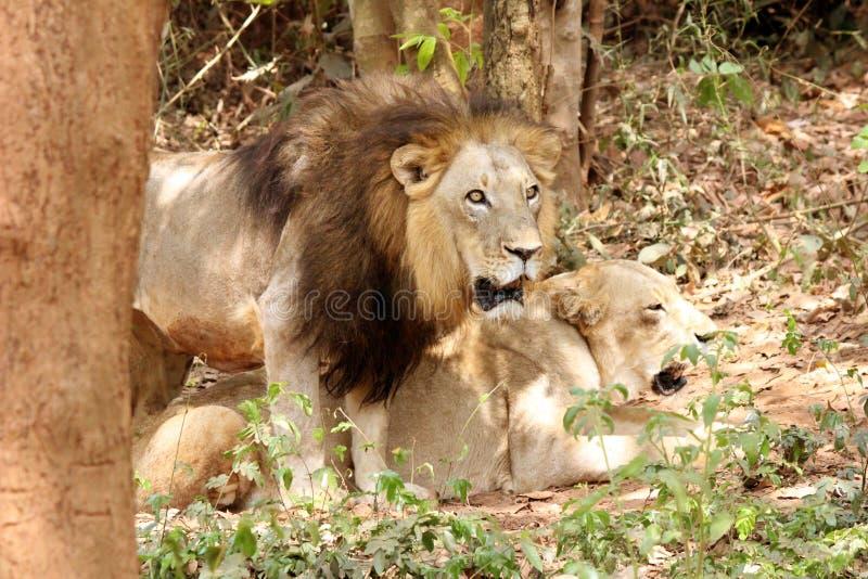Сафари льва стоковые фотографии rf