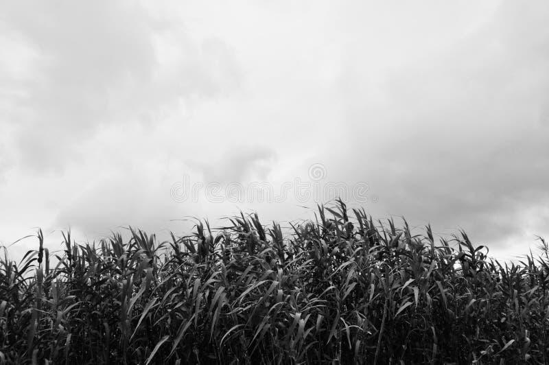 Сахарный тростник в поле черно-белом стоковые изображения